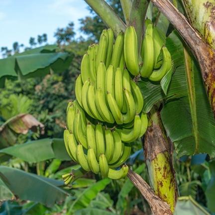 Harmony-Hill-NL17-095-banana