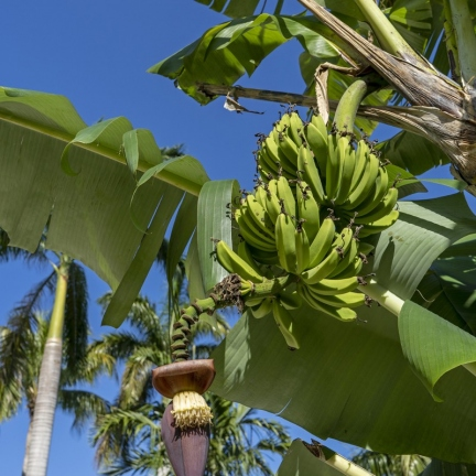 46-Banana-Tree-copy